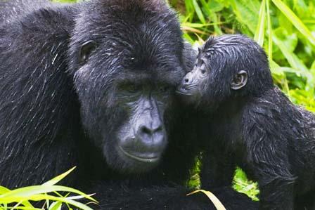 2 Days gorilla tracking bwindi - 3 Days Gorilla tracking Bwindi forest and lake Bunyonyi safari
