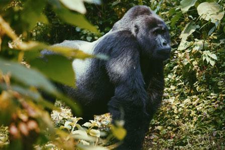 3 days luxury gorilla flying safari