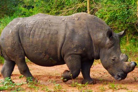 3 Days Murchison Falls with Rhinos and Chimpanzee tracking - 3 days Murchison falls safari