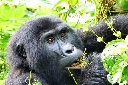4 Days Gorillas and Chimpanzee tracking