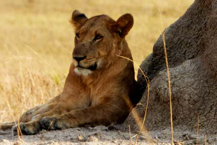 4 Days gorillas and Tree Climbing Lions - 3 Days Gorilla tracking Bwindi forest and lake Bunyonyi safari