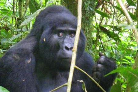 Gorilla Tracking Nkuringo