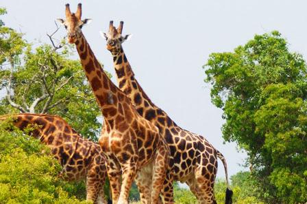 3 Days Akagera wildlife safari - 5 Days Gorillas and Chimpanzee tour in Rwanda with canopy walk