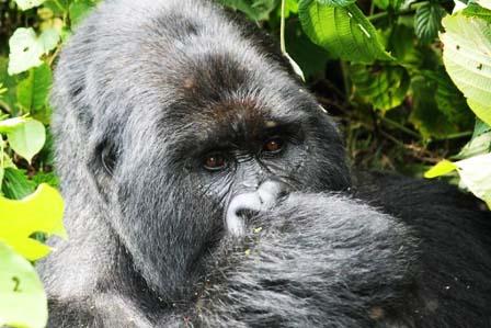 3 Days gorilla tracking bwindi in Uganda