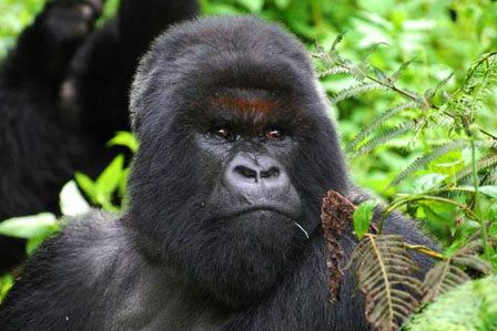 3 Days Gorilla Tracking bwindi - African adventure travellers