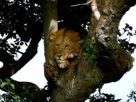 5 Days gorillas and lions tour - 3 Days Gorilla tracking Bwindi forest and lake Bunyonyi safari