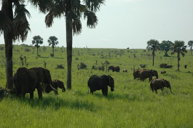 Elephants spotted in Murchison Falls National Park